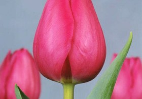 Tulp Don Quichotte