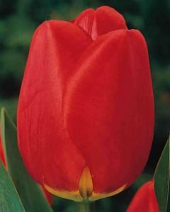 Tulpen Apeldoorn