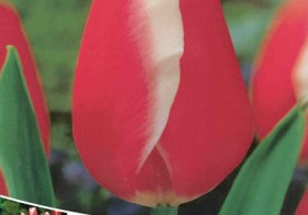 Tulipa Triumph Rood-Wit