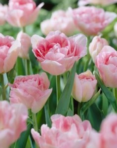 Tulp Angelique mix